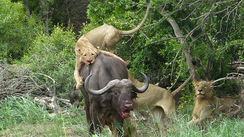 Lions Hunt Down Buffalo and start eating it alive
