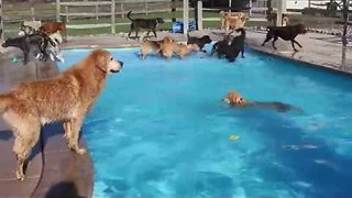 Daycare Dogs Enjoy Last Day at the Pool for the Season - Video