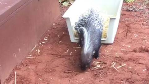 Cape Porcupine Arrives at Perth Zoo