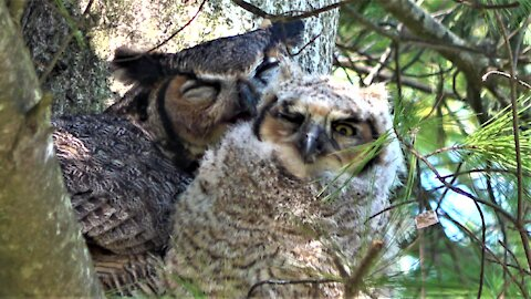 Devoted mother great horned owl cuddles and grooms her baby