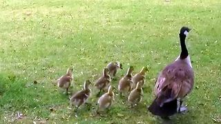 Cute little baby geese on the run - Video