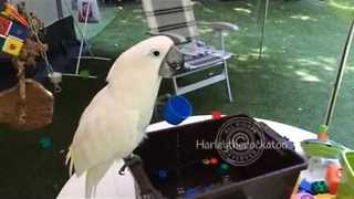 Holidaying Cockatoo Plays With Plastic Cups and Water - Video