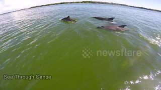 Dolphins follow canoeist in Florida - Video