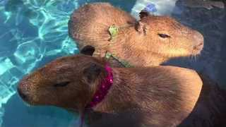 Capybara Companions Chill by the Pool - Video