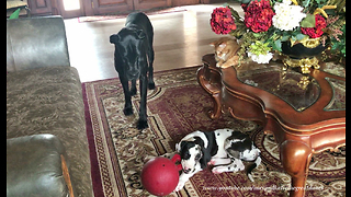 Cat enjoys watching Great Danes play together - Video
