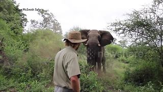 Trail guide remains incredibly calm as elephant charges at him - Video