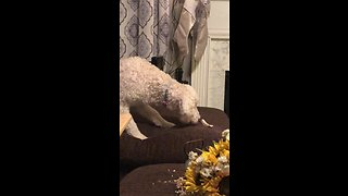 Cautious dog terrified by new chew toy