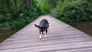 Cute Chihuahua Crossing a Bridge by Herself