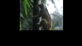 Slow Lorises Return to Indonesian Forest After Rescue From Poachers - Video