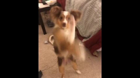 Australian Shepherd shows off hilarious boxing moves