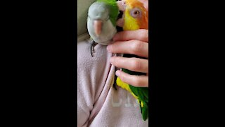 Snuggling parrot gets interrupted by his jealous brother