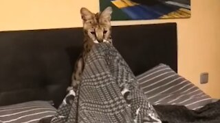 Playtime with a Savannah cat is both thrilling and adorable