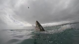 Great White Shark Breaches Next To Dive Cage To Catch A Bait