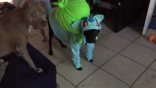 Adorable Dog Tries on Bulbasaur Halloween Costume - Video