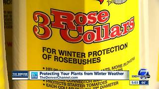 Snow is coming to Denver on Monday, so let's talk about how to protect your plants - Video