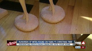 Hundreds of mites crawl off Christmas tree and into family's home