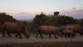 Rhino poaching victim walks past safari vehicle with family - Video