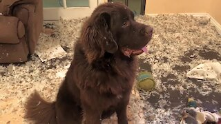 Guilty Newfoundland puppy makes huge mess