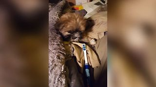 Puppy vs Electric Toothbrush - Video