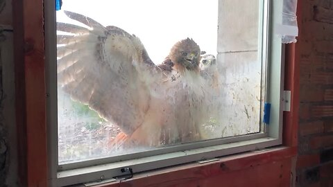 These baby hawks are nesting at Michigan Central Station