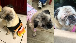 Seeing is puglieving – Teacher films her blind pooch adapting to life around the home - Video