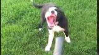 Excitable Pup Faces Off With a Leaf Blower