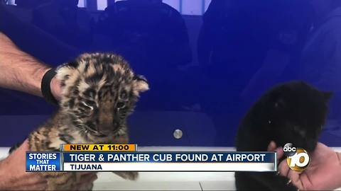 Tiger and panther cub found at airport
