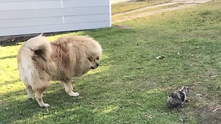 Tiny rabbit puts Tibetan Mastiff in her place