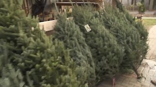 What makes the best real Christmas Tree?