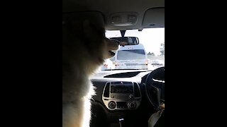 Alaskan Malamute howls along at passing siren