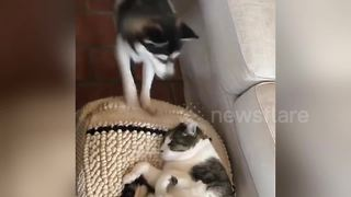 Puppy Is Super-Determined To Play With Cat