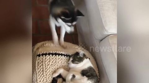 Nova the puppy is super-determined to play with Helmet the cat