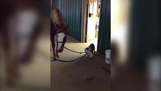 Bulldog And Horse Promise To Stay Best Friends Forever  - Video