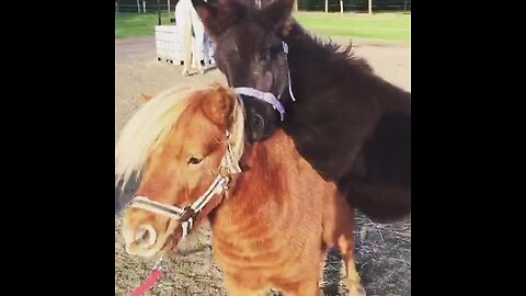 Baby mule rides on top of miniature horse