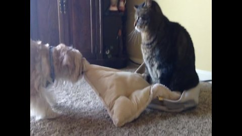 Dog doesn't want to Share Pillow with Cat Brother