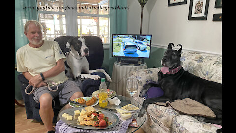 Great Danes make themselves at home visiting their dog friends