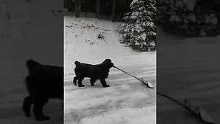 Newfie Dog Loves Helping Her Owner Shovel Snow - Video