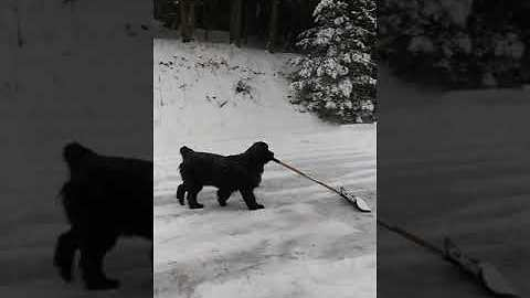 Newfie Dog Loves Helping Her Owner Shovel Snow