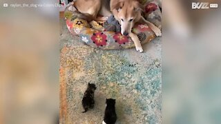 Doting dog takes care of abandoned cats