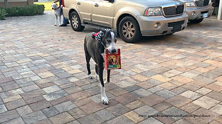 Santa Hat Wearing Great Dane Delivers Dog Cookies  - Video