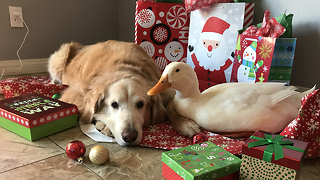 Best Friends Dog And Duck Celebrate Christmas | CUTE AS FLUFF - Video