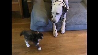 Feisty funny kitten adorably terrorizes patient Dalmatian