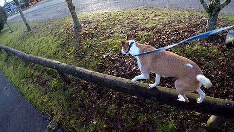 Dog Fails Walking along a Rail Fence