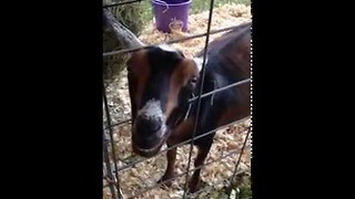 Goat's Desperate Bleat Makes Him Sound Upset - Video
