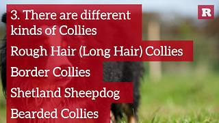 Fun and Lovable Facts on the Rough Hair Collie | Rare Animals - Video