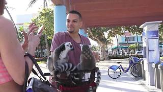 Only in Miami - man rides bike with two lemurs in basket - Video