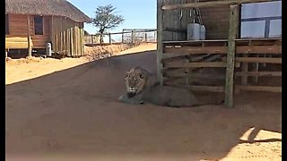 Tourists unexpectedly find massive lion in front of room - Video
