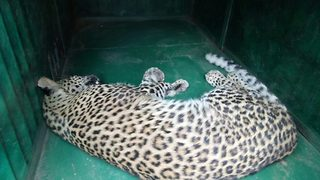 Narrow escape for father, three year old son after leopard leaps out of cot  - Video