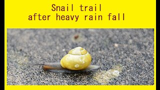 Snail trail - after heavy rain, this little snail went on its travels- UK - June 2020