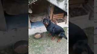 Clever Rottweiler Obeys Italian Commands - Video